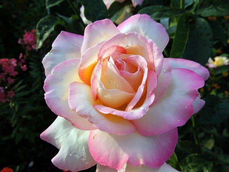находки сорт розы глория дей фото сайт