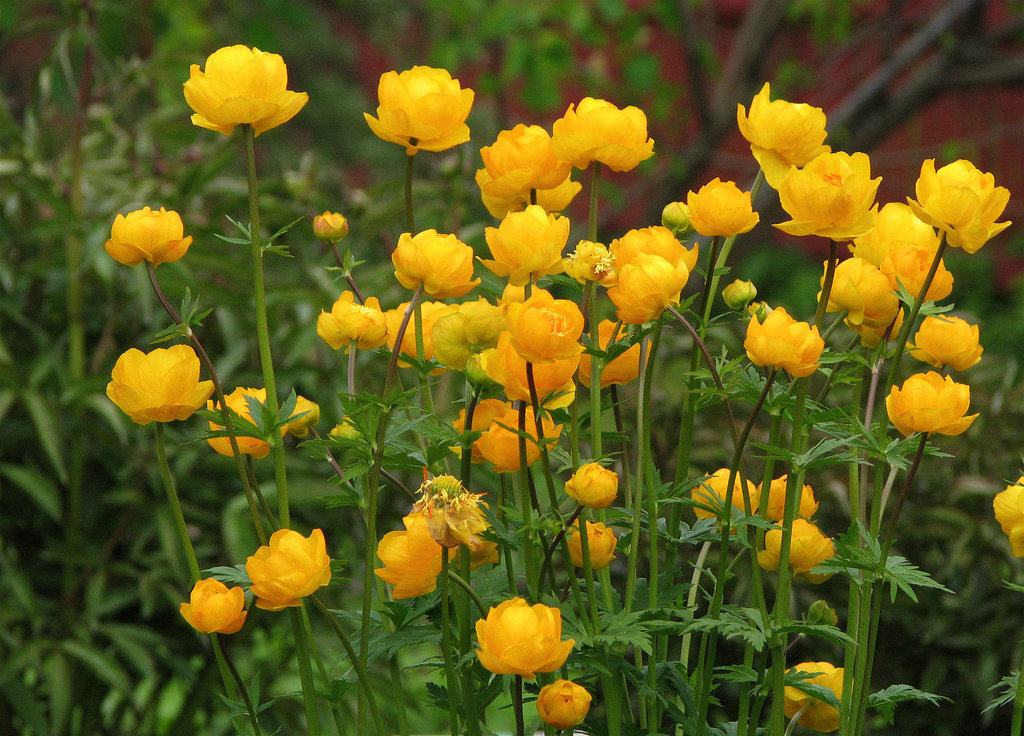 Цветы купальница фото