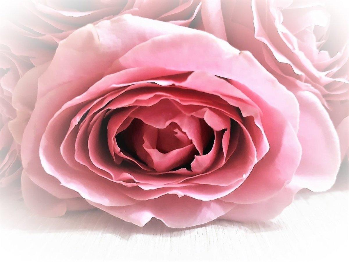 Красивые фото бесплатно для вас, Beautiful photos are free for you, p_i_r_a_n_y_a Нежность розовых роз