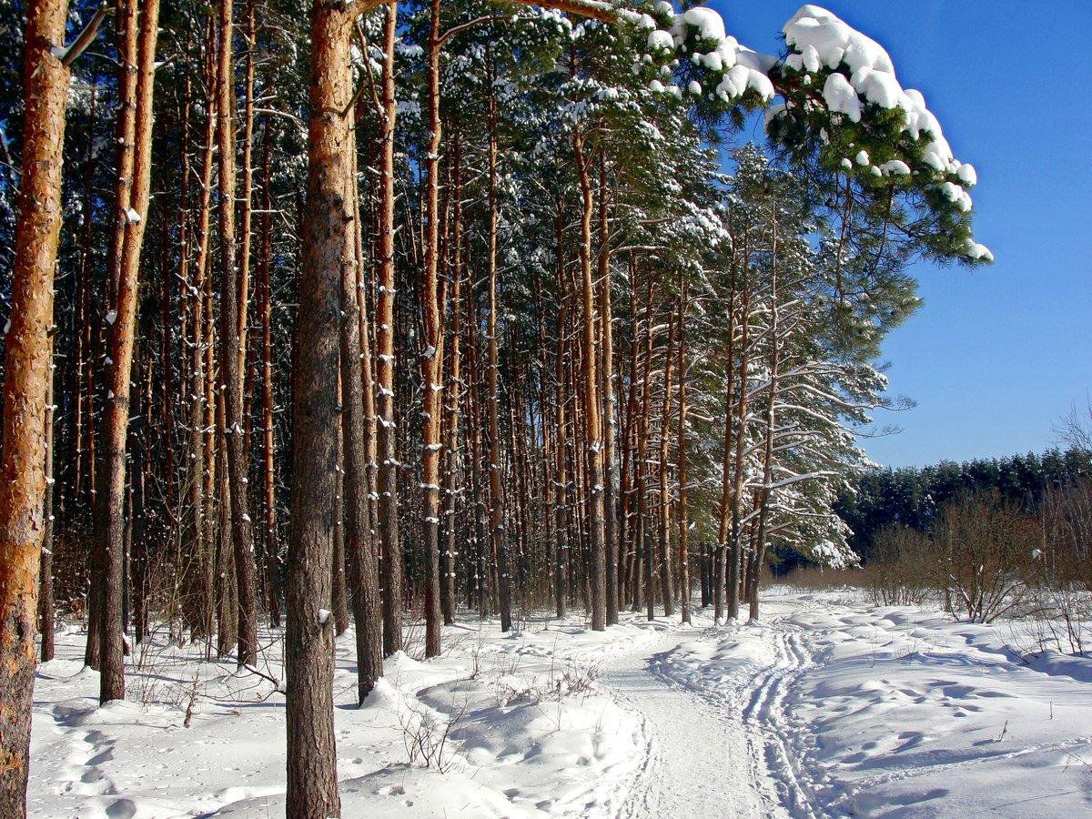 ними зимние фотографии в сосновом лесу рхб