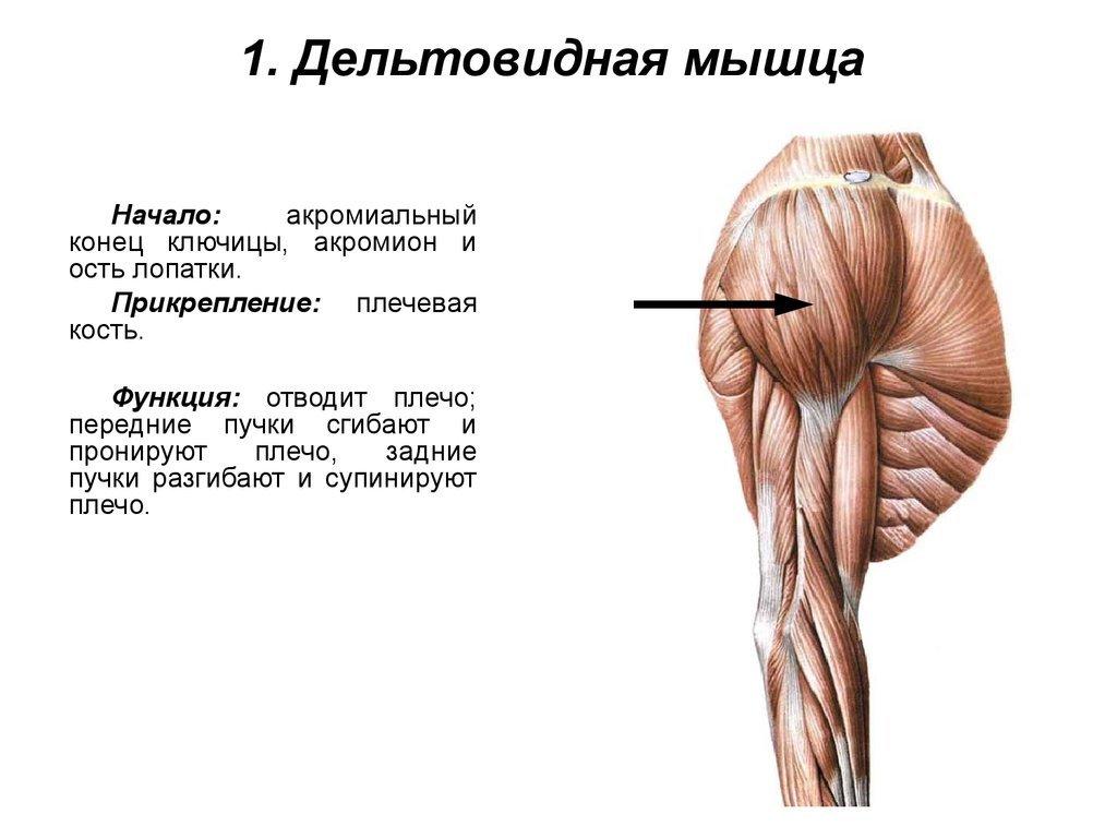 дельтовидная мышца с картинками еще втапливает, дает