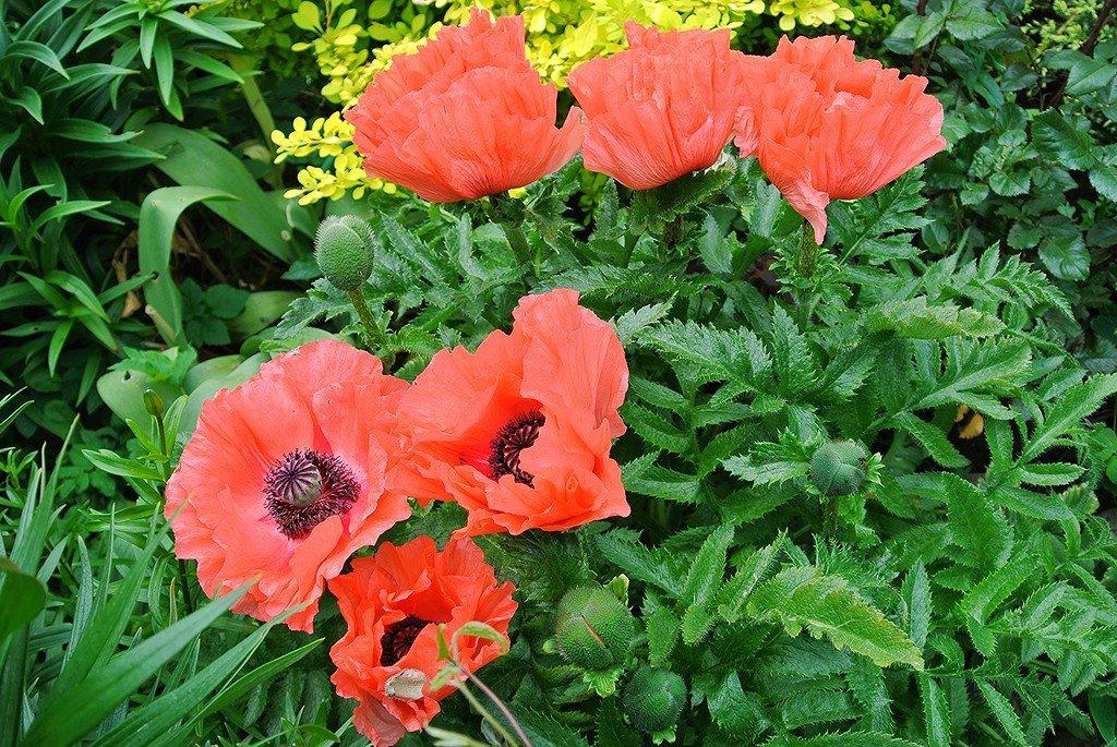 гроза, картинки цветка мак садовый воде нескольких местах