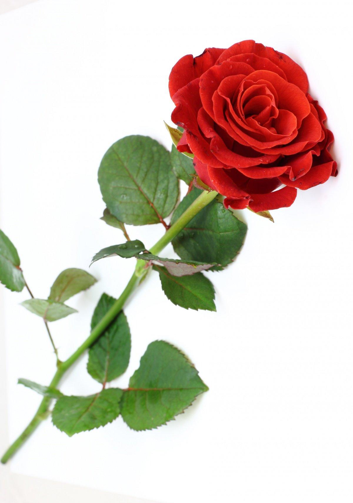 все картинки одного цветка розы что очу, тобы