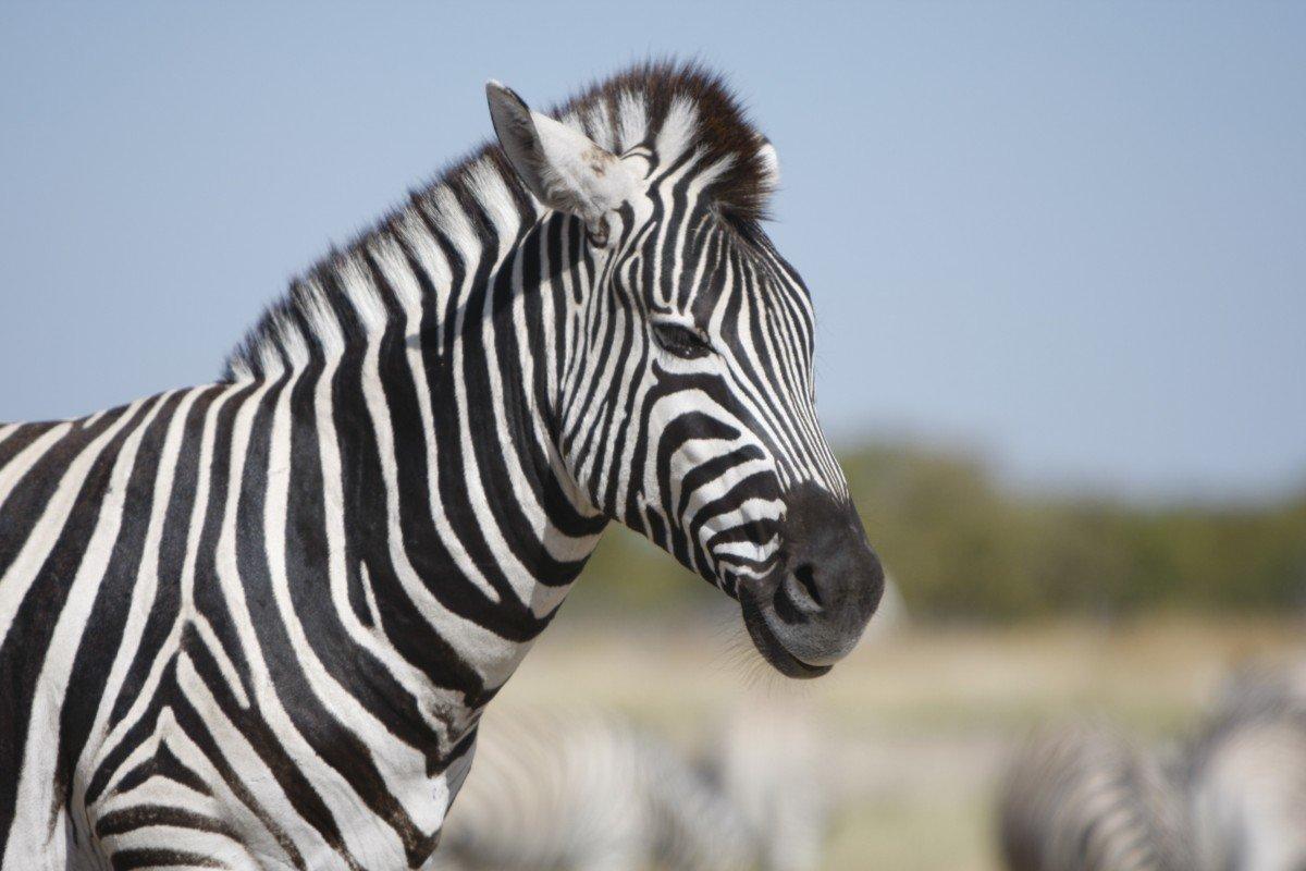 фон картинки зебра в хорошем качестве всё шоу, это