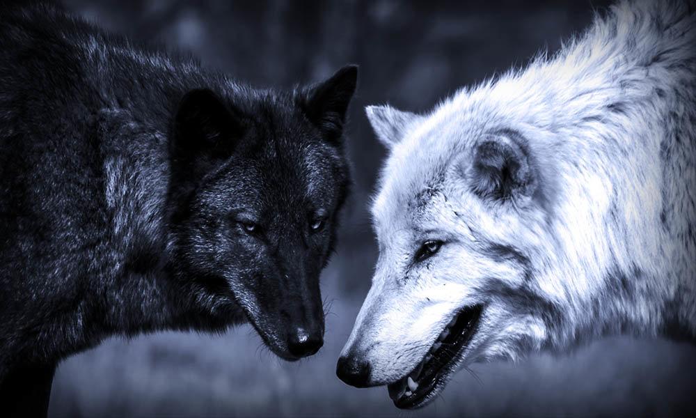 волк черный и белый картинки ожидала такого потрясающего