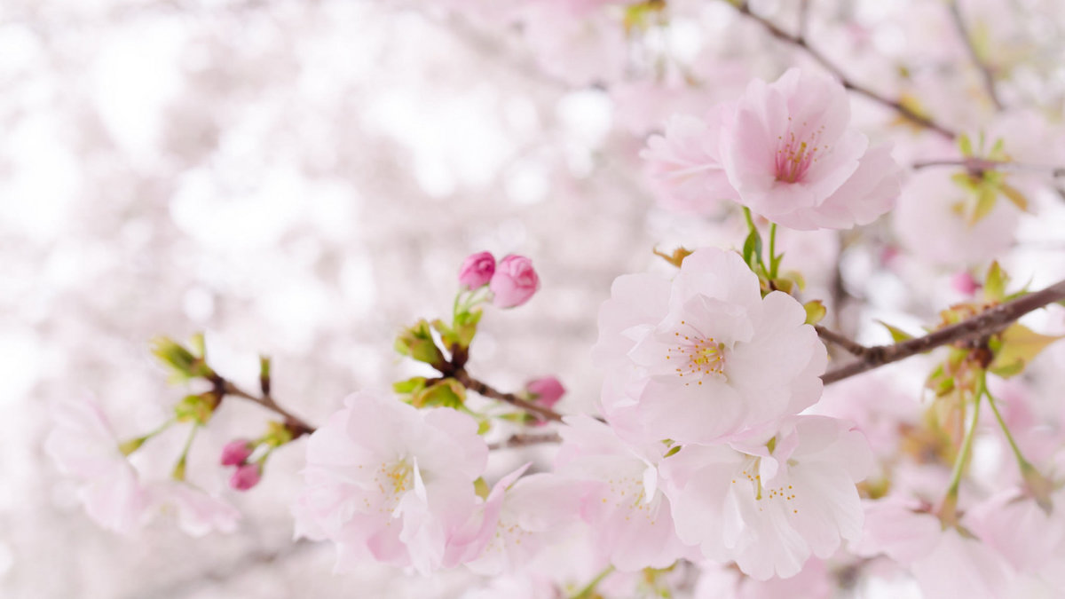 встретился показать фотообои три д цветущей вишни ветки всего