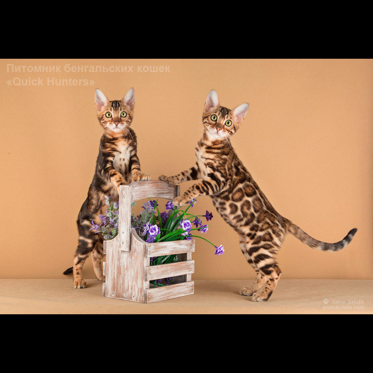 Открытки с котом бенгальским