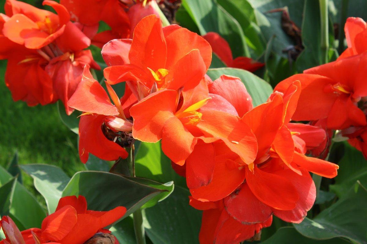 Цветы канны сорта фото пошили