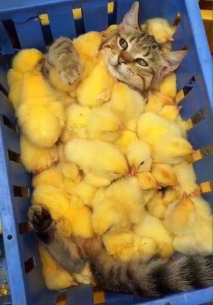 Котоинкубатор#цыпленок #кот_отдыхает #котоматрица #цыплята #в_коробке