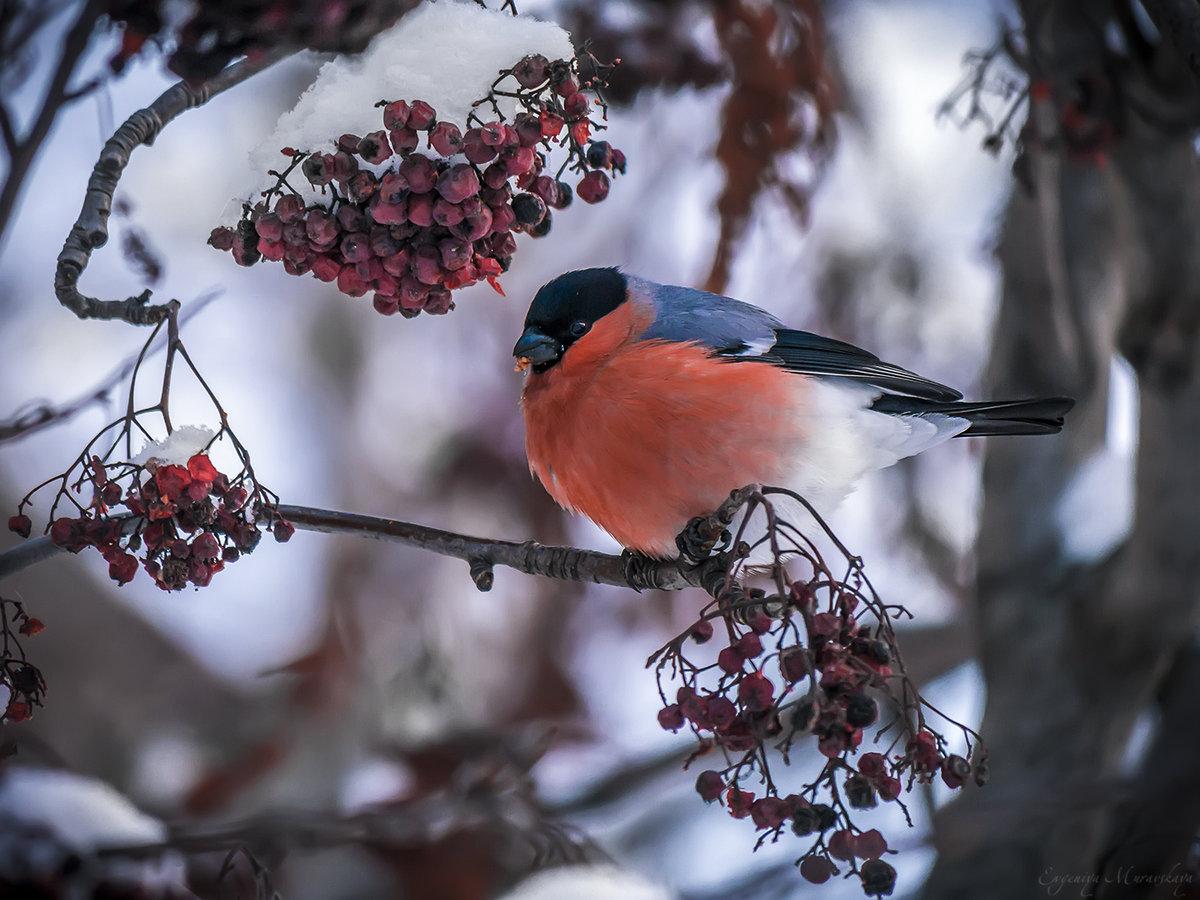 картинка зимы птиц сталкиваюсь