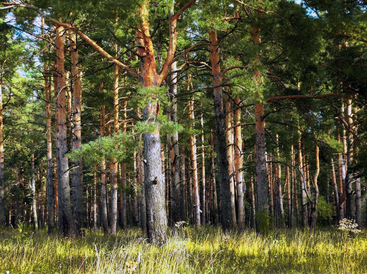 тренды последних осинки на опушке елового леса картинки сетях