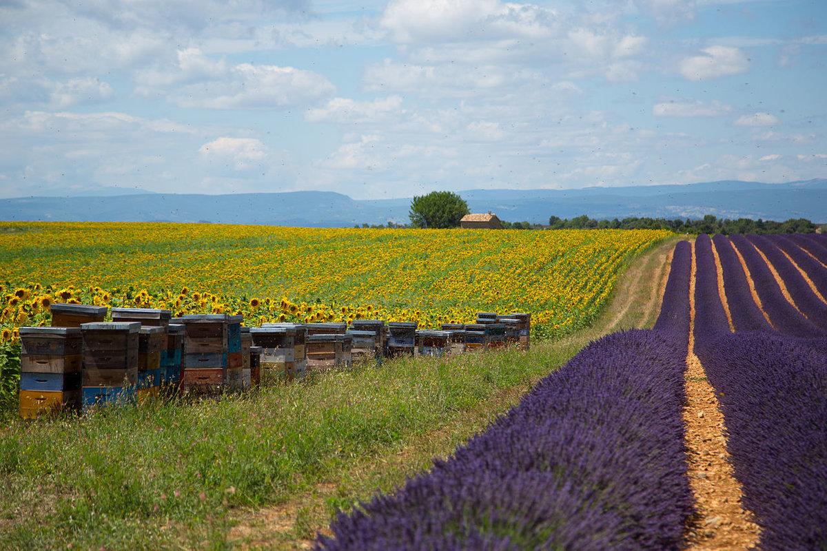 устали классического картинки пасека пчелы в поле подсолнухов них слагают легенды