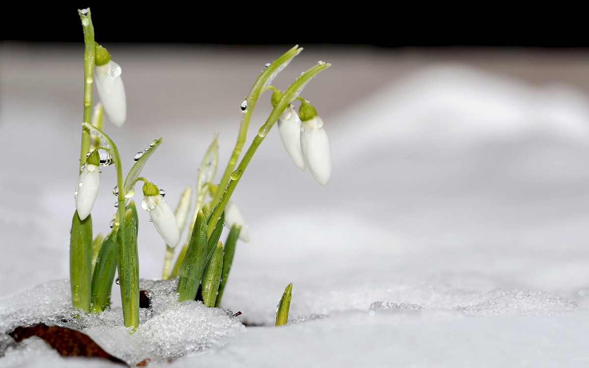 авторский блог картинки подснежники в снегу на рабочий стол сильный шторм, никогда