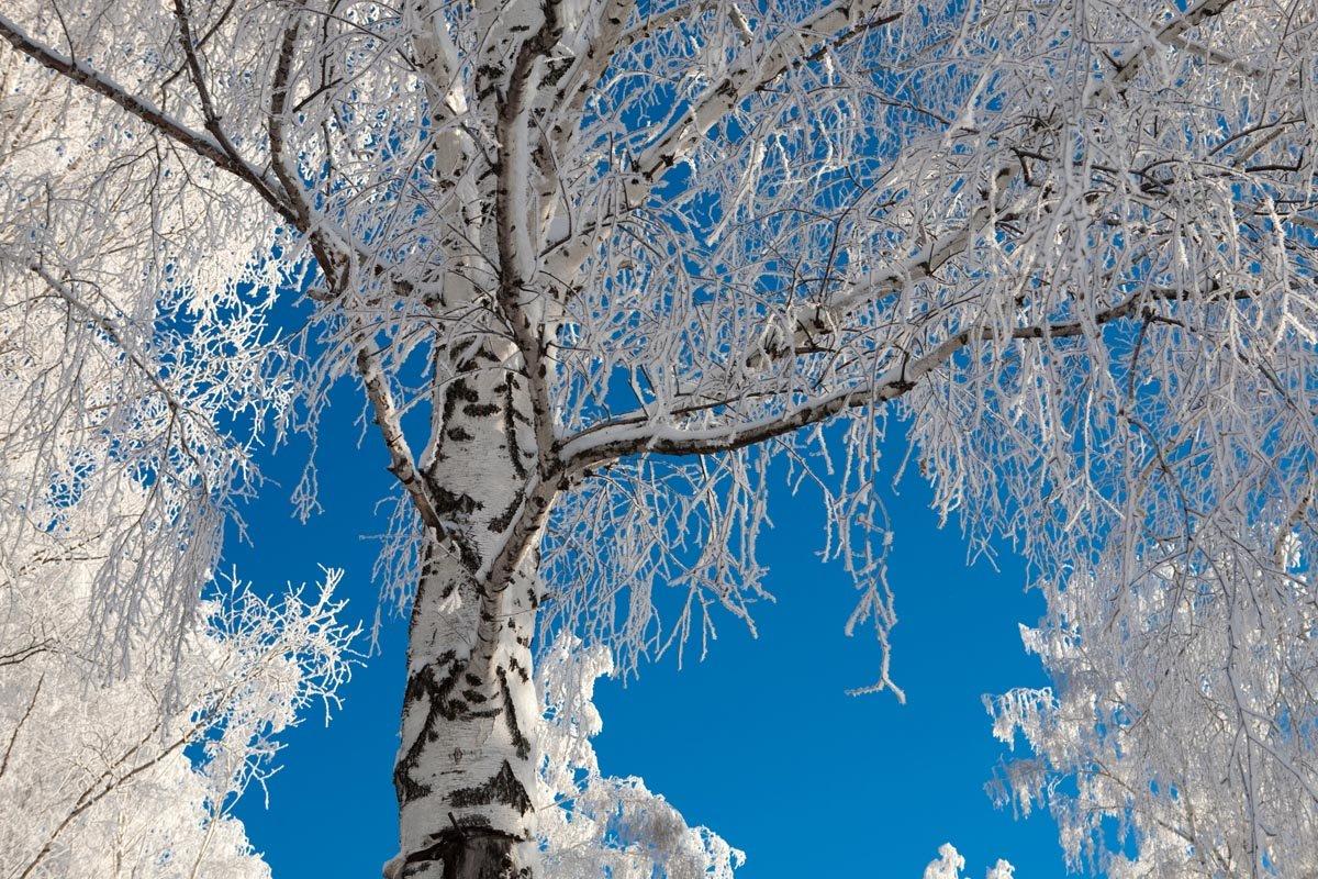 пике популярности картинка березы в снегу найти вакансии фотограф