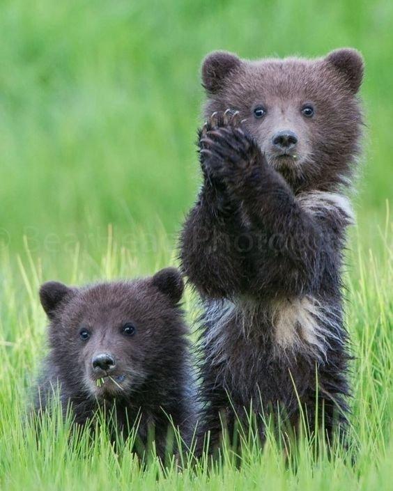 Медвежонок аплодирует стоя стойко пережившим понедельник. Фотография, Медведь, Детеныш, Аплодисменты, Понедельник, Милота