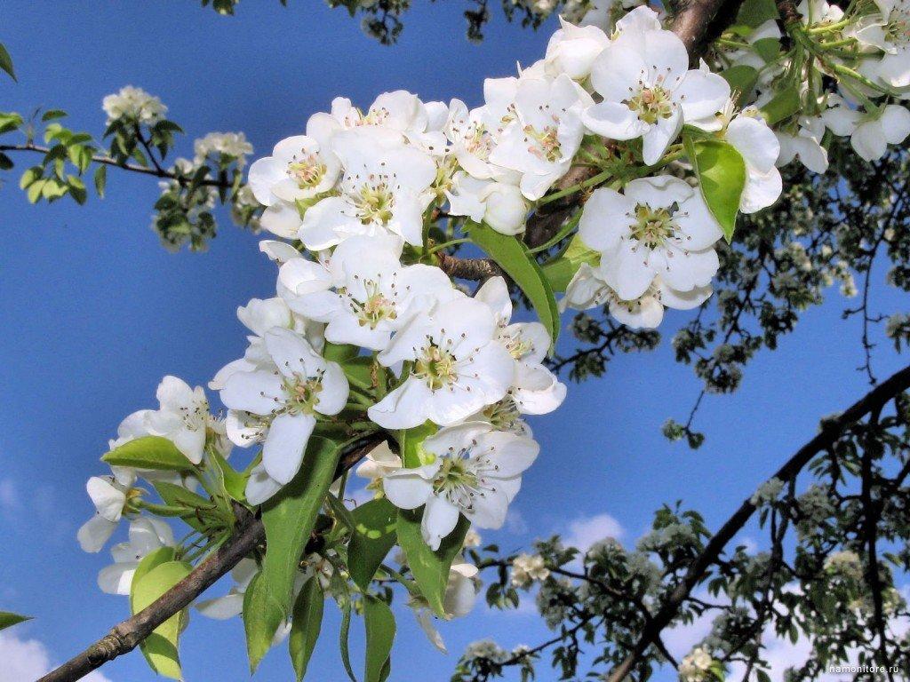 одежде цвет яблони обои на рабочий стол пожеланием спокойной ночи