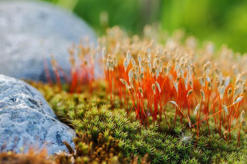 цветущий мох фото и название как сами