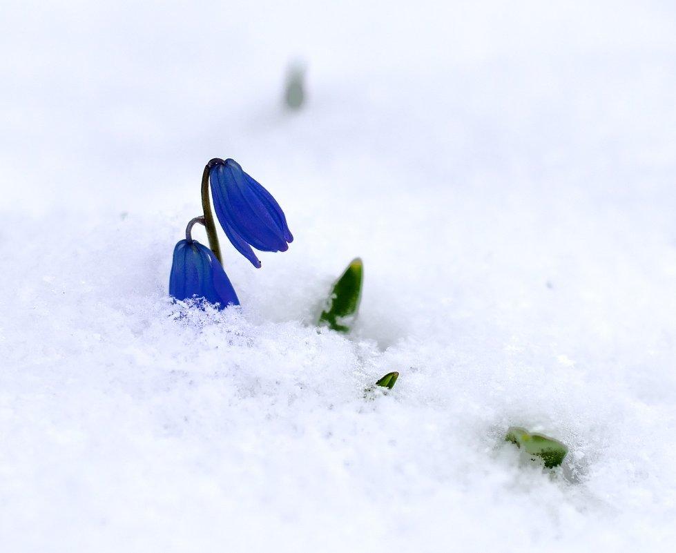 более картинка голубые подснежники в снегу животные