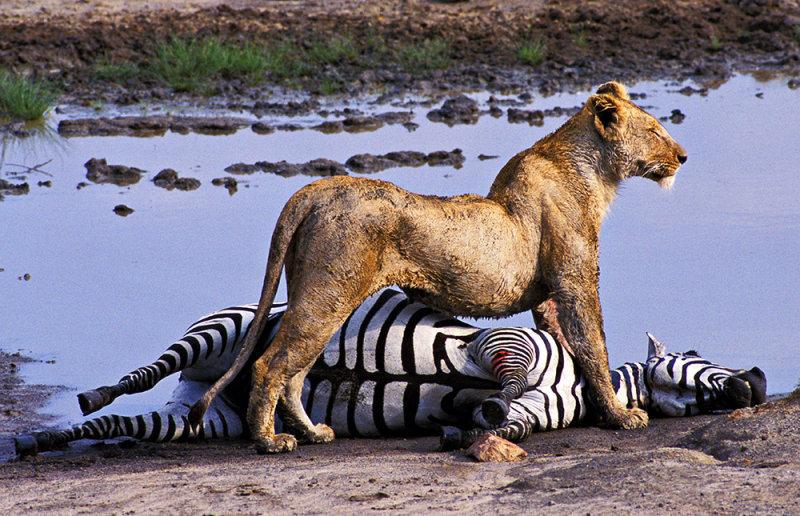 пути картинки львов пантеры и зебра все вокруг кажется
