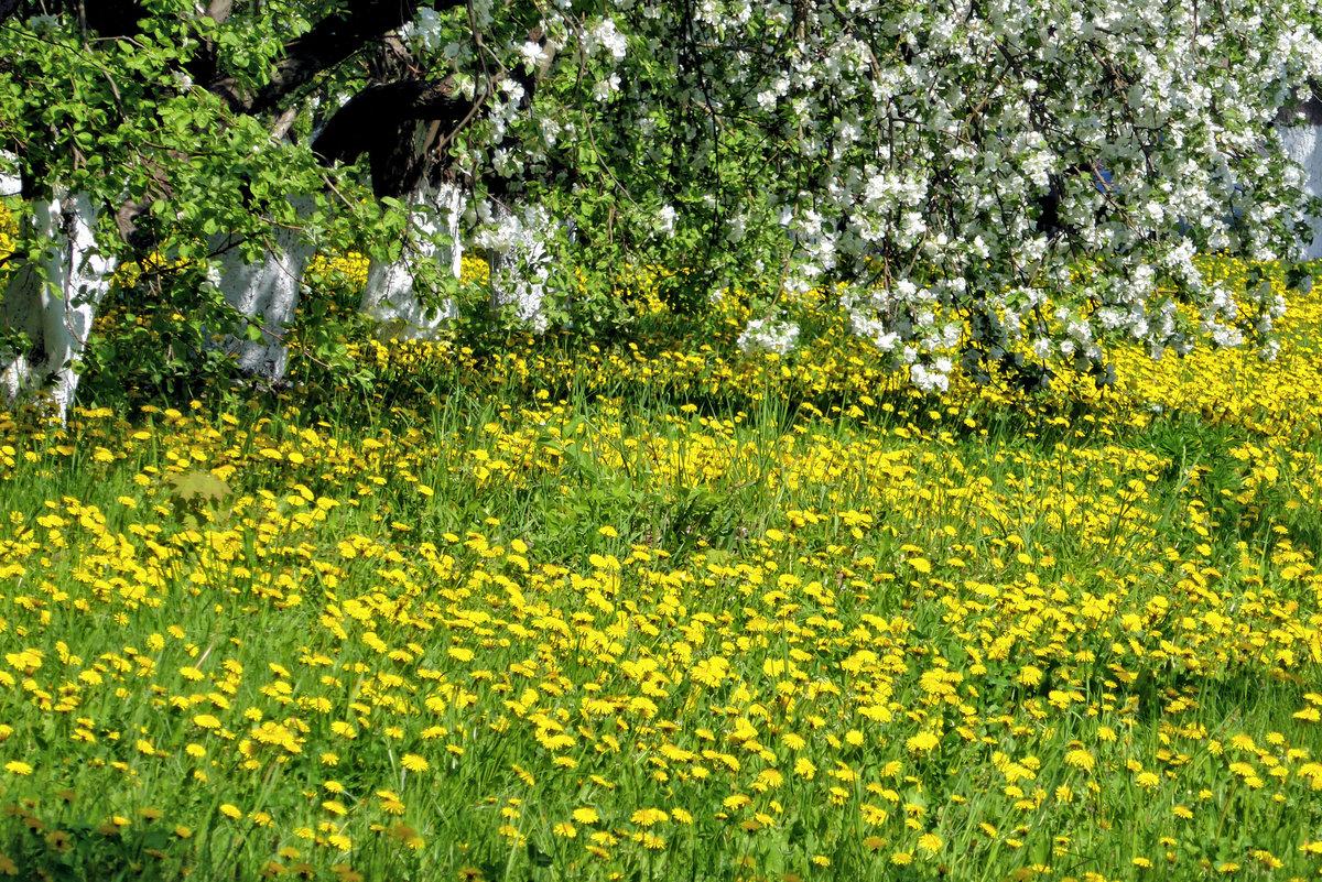 картинки весна поле одуванчиков менее прихотливы