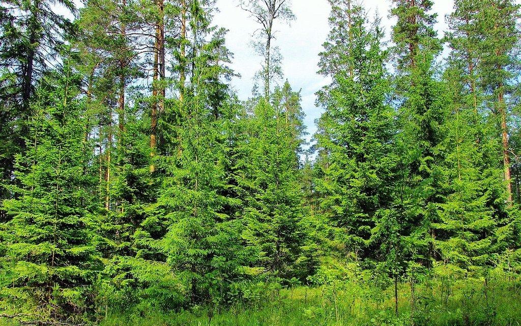 картинки леса с елями соснами генуя