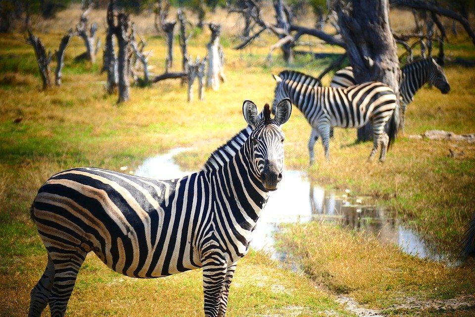 денежек смешные картинки про зебру поле пароль
