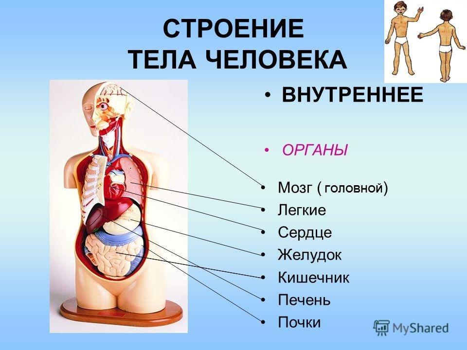 Анатомия внутреннее строение человека в картинках