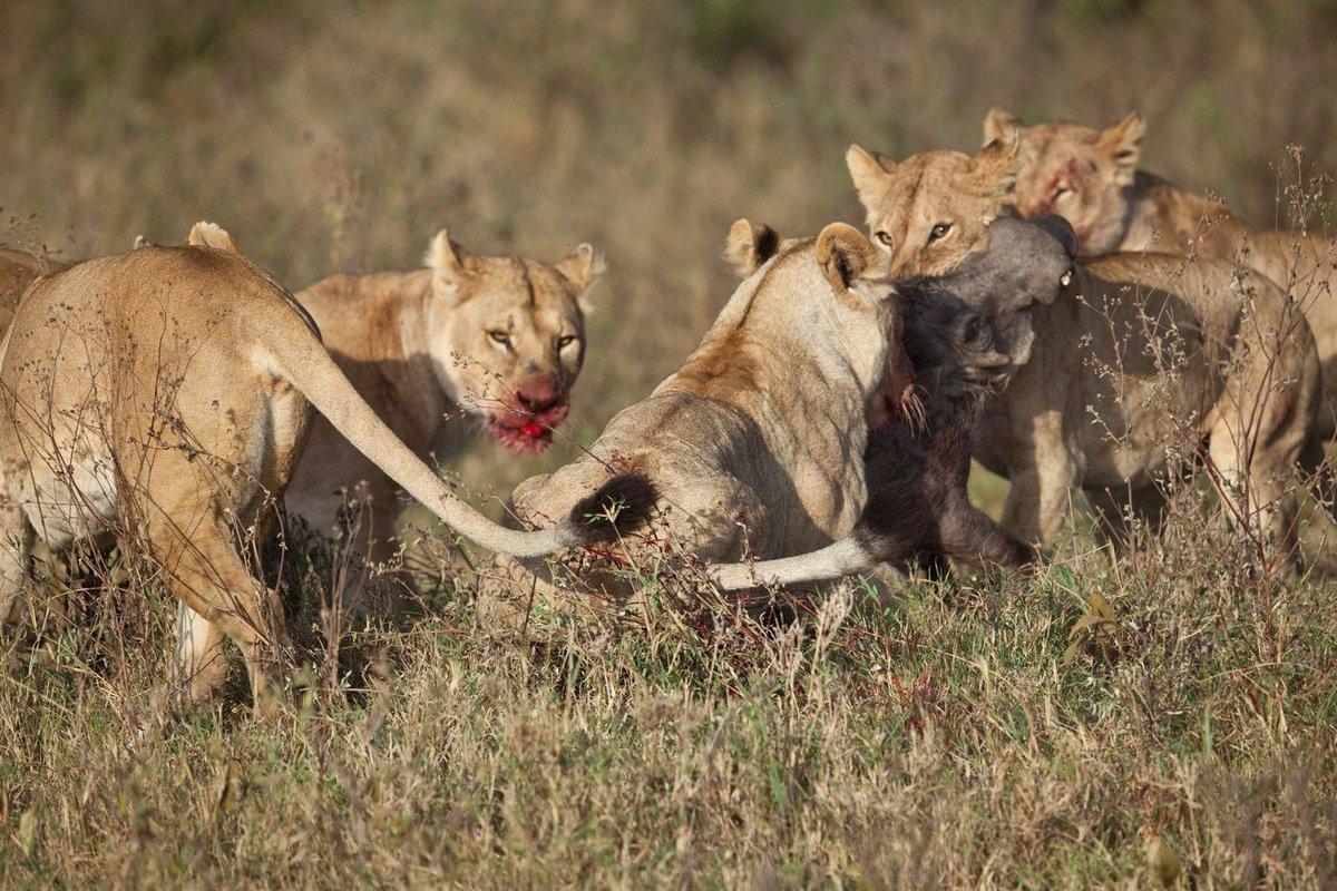 Хищники охотники картинка