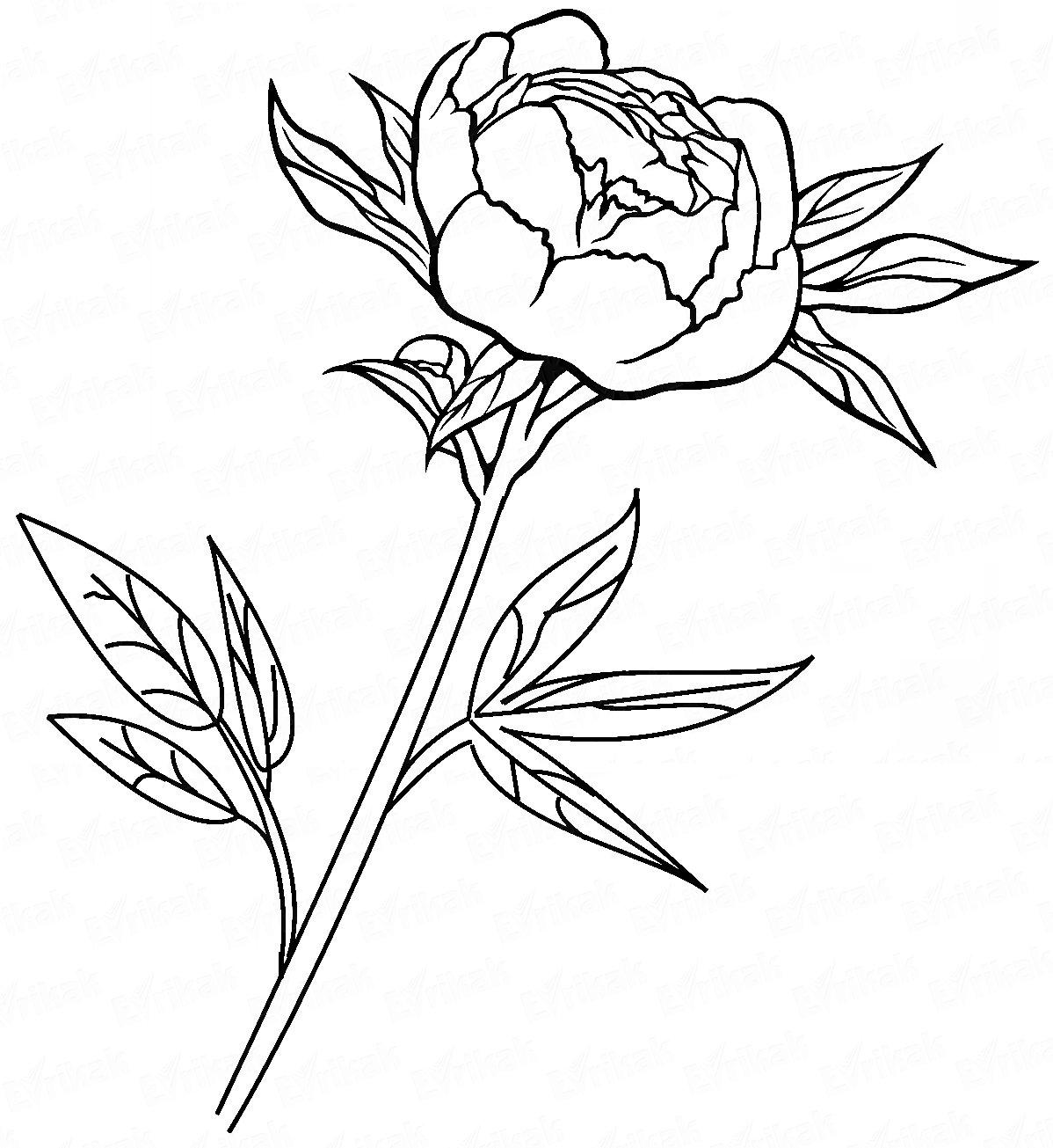 пионы рисунки карандашом простые понравились