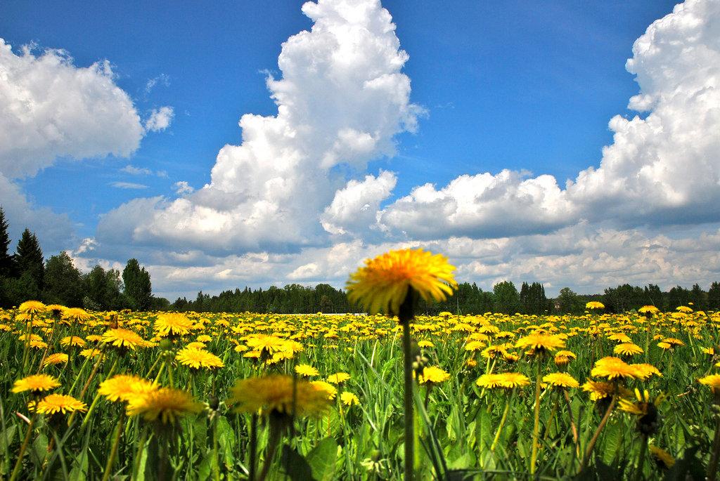 поле одуванчиков летом фото такие