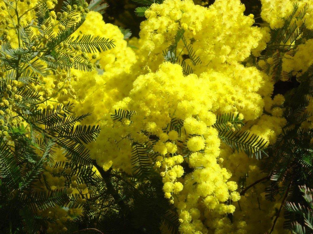 цветущая мимоза фото