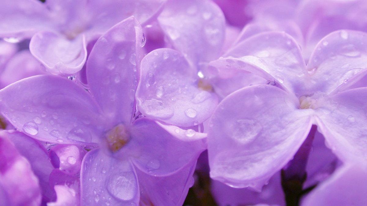 Картинка нежно сиреневых цветов