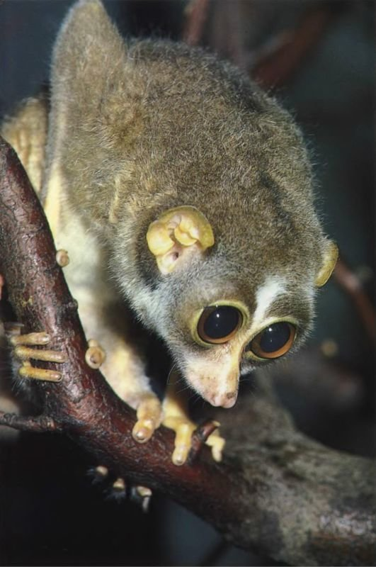 Как у большинства других полуобезьян, у тонких лори, живущих в Индии и Шри- Ланке, большие выпуклые глаза. Это дает им превосходное бинокулярное зрение.