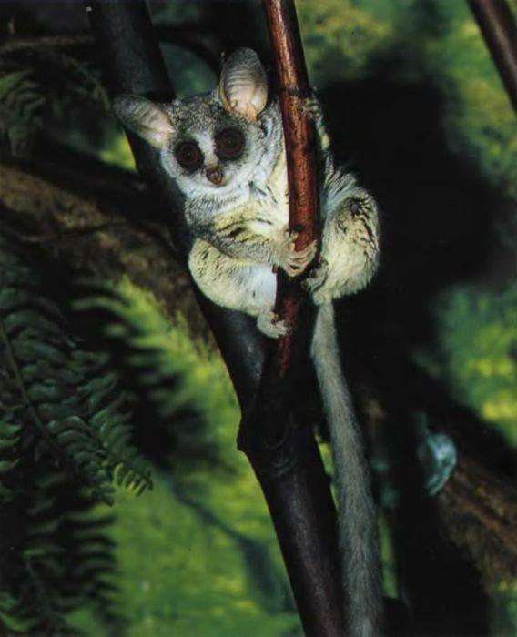 Малого галаго можно встретить среди обитателей центральных районов Африки южнее Сахары. Его большие глаза служат как для оценки расстояний при прыжках, таки для поиска добычи — насекомых, ящериц, плодов и цветов.