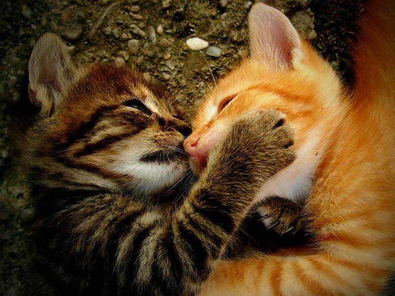 Прикольные картинки кошки целуются