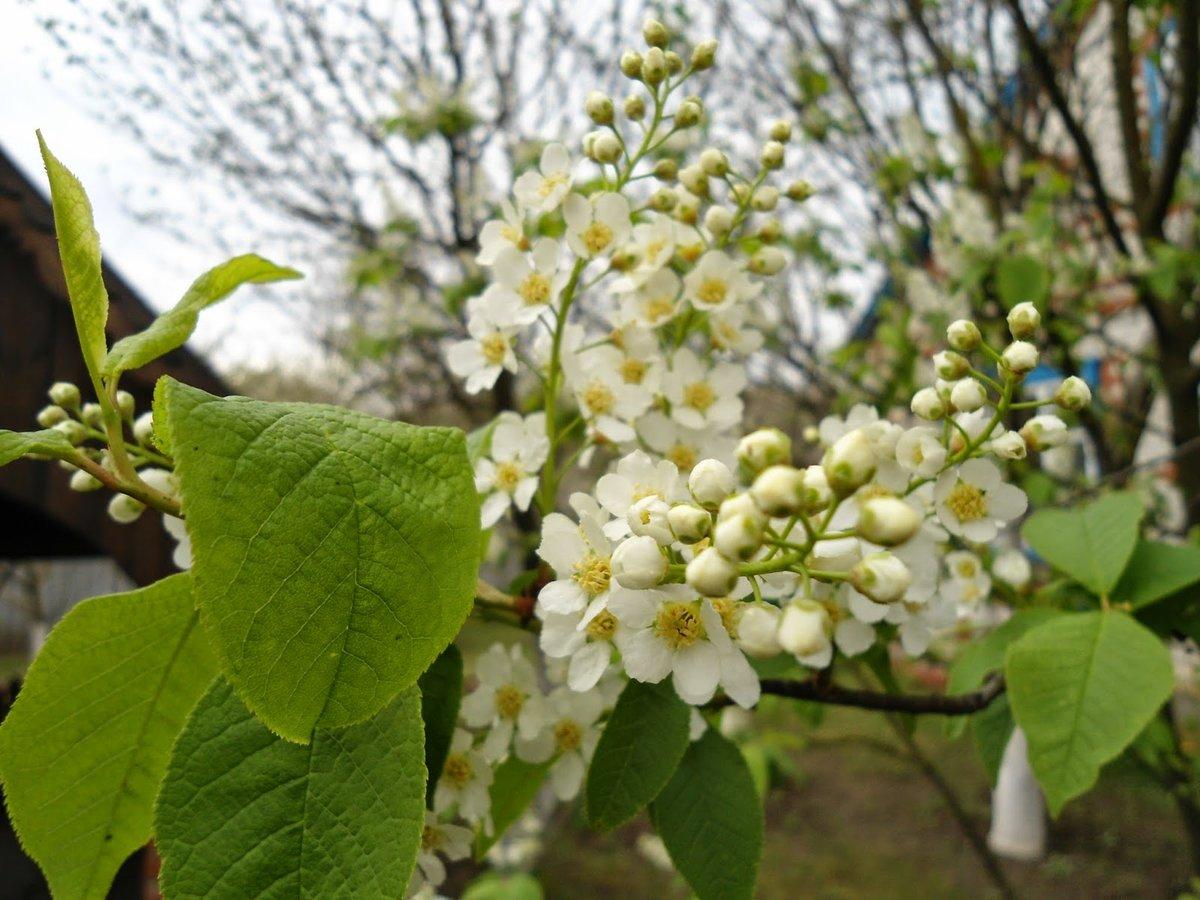 люди картинки бурятия цветение черемухи нашем каталоге предлагаем