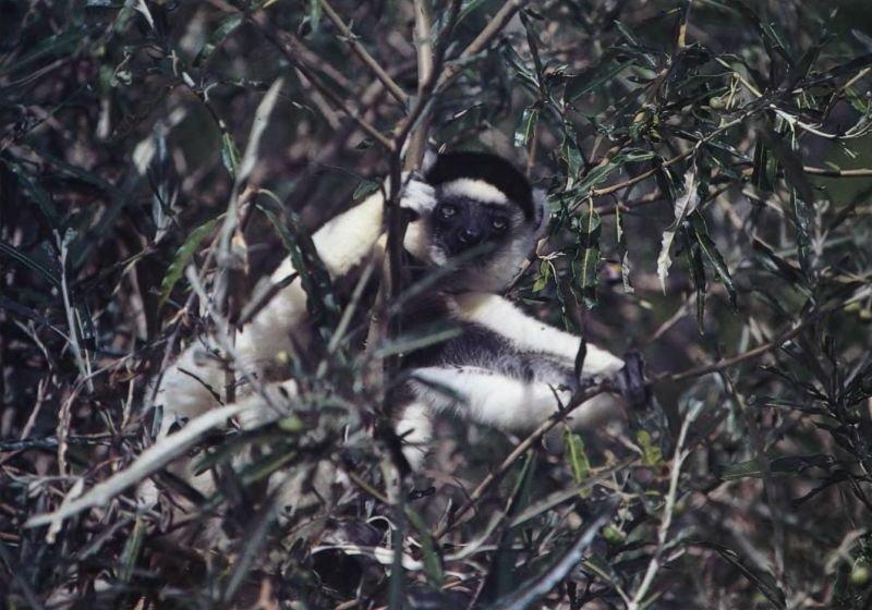 Сифака Верро — один из крупнейших живущих ныне лемуров. Живет группами по пять —десять особей, активен в течение светлого времени суток, питается корой, листьями и фруктами.