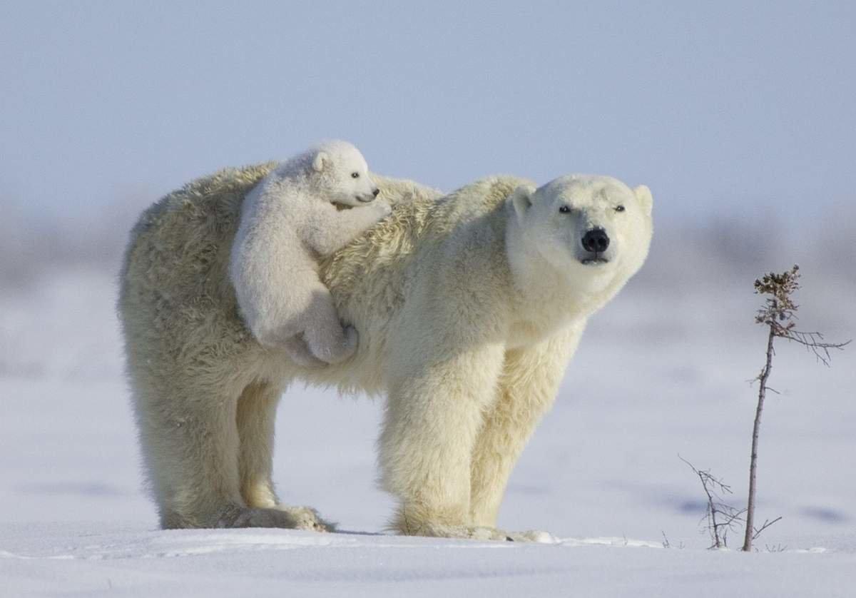 Медведица с маленьким медвежонком