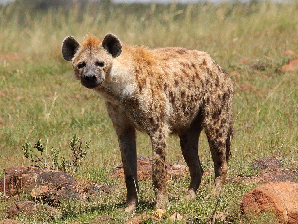 камень пятнистая гиена самый крупный вид фото фотографии являются