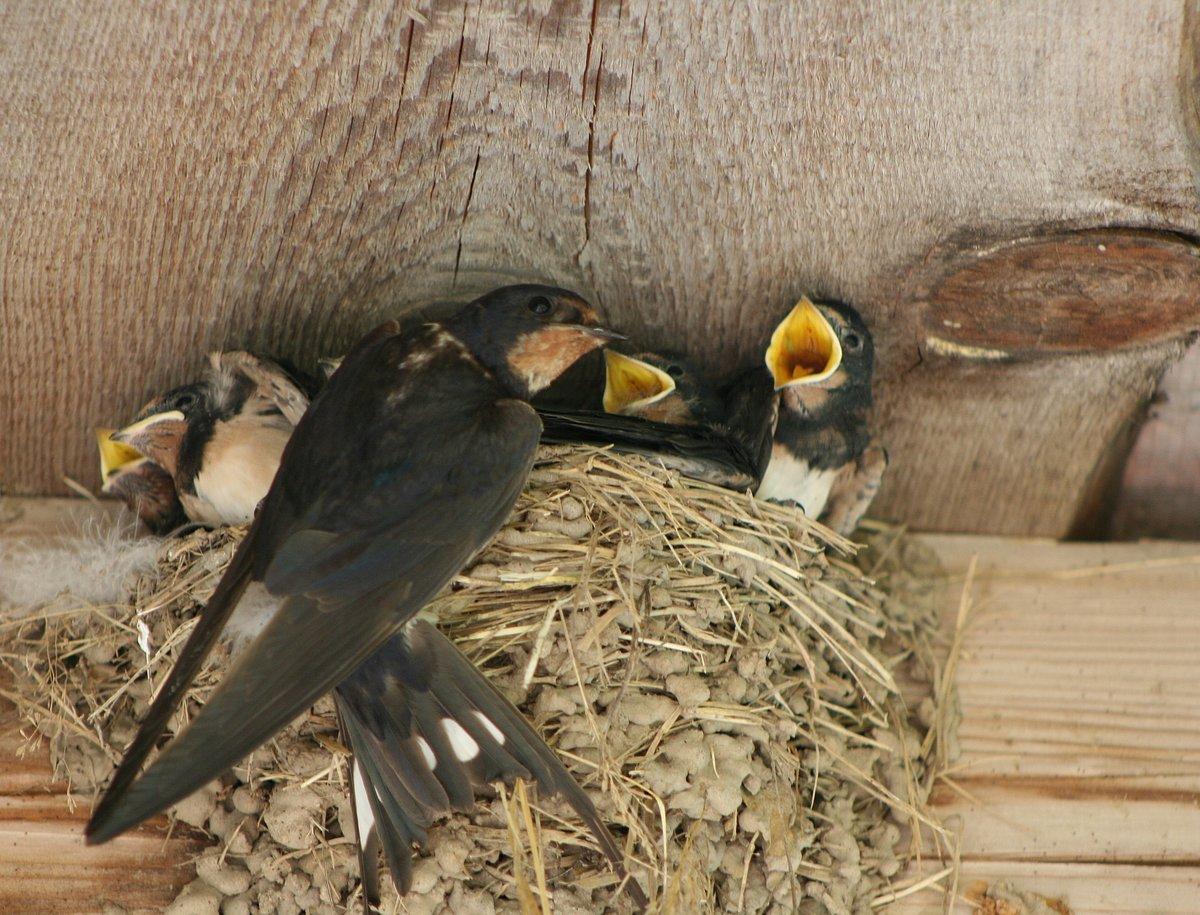 Картинка ласточка и гнездо