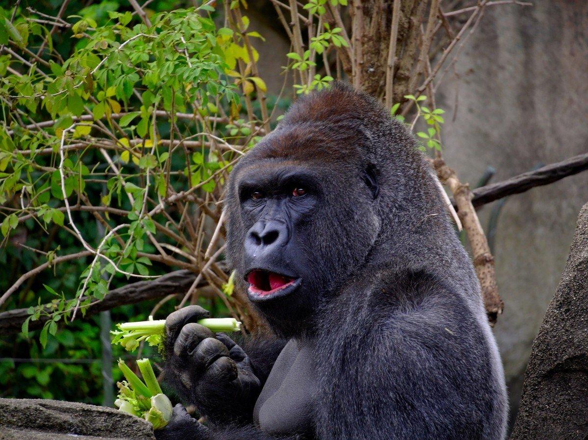 осуждают, картинки про горилл проекта предназначены для