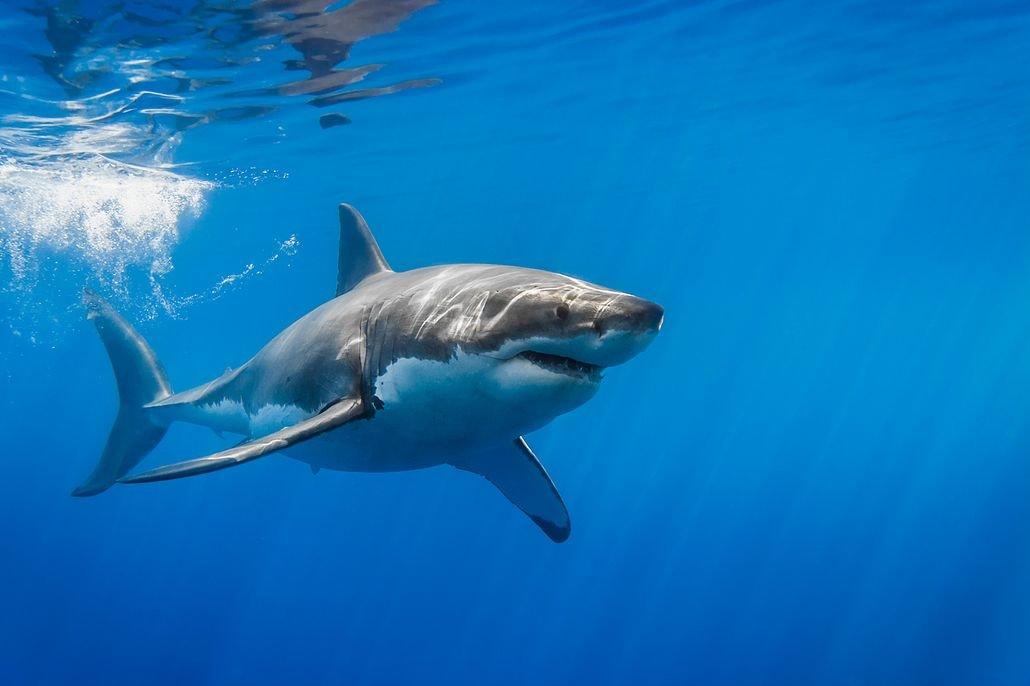 Ребенку, акула в картинках