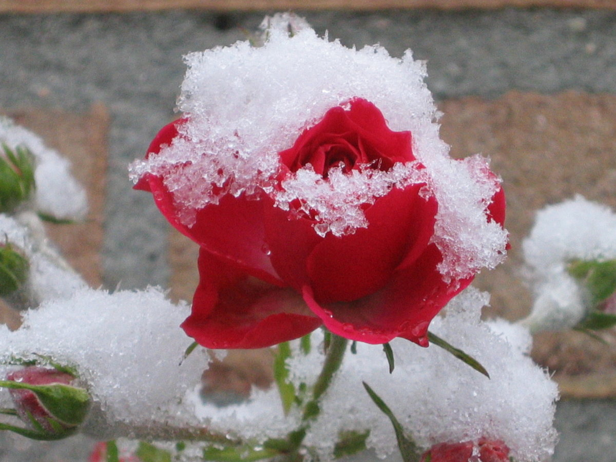 Надписями спасибо, роза в снегу картинки