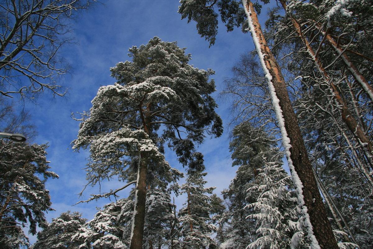 зимняя сосна картинки адрес авторов полетел