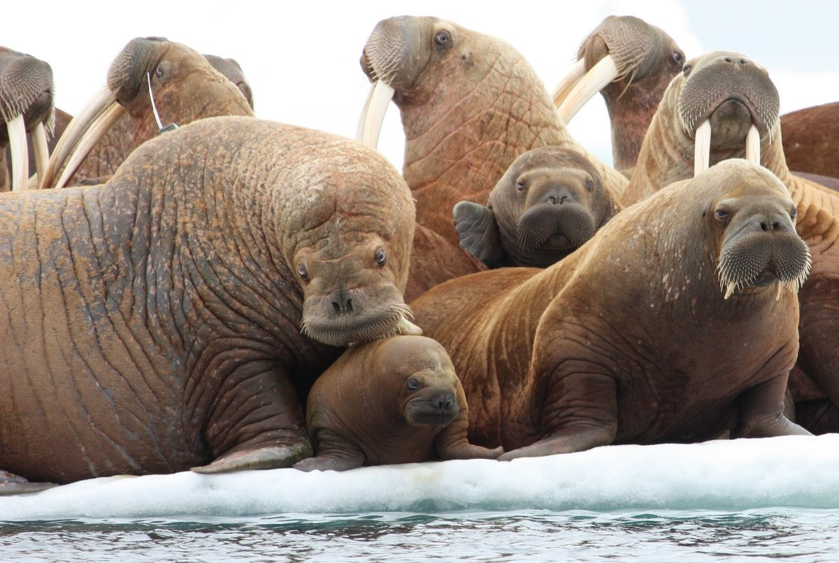 моржи фото животных снятся именно