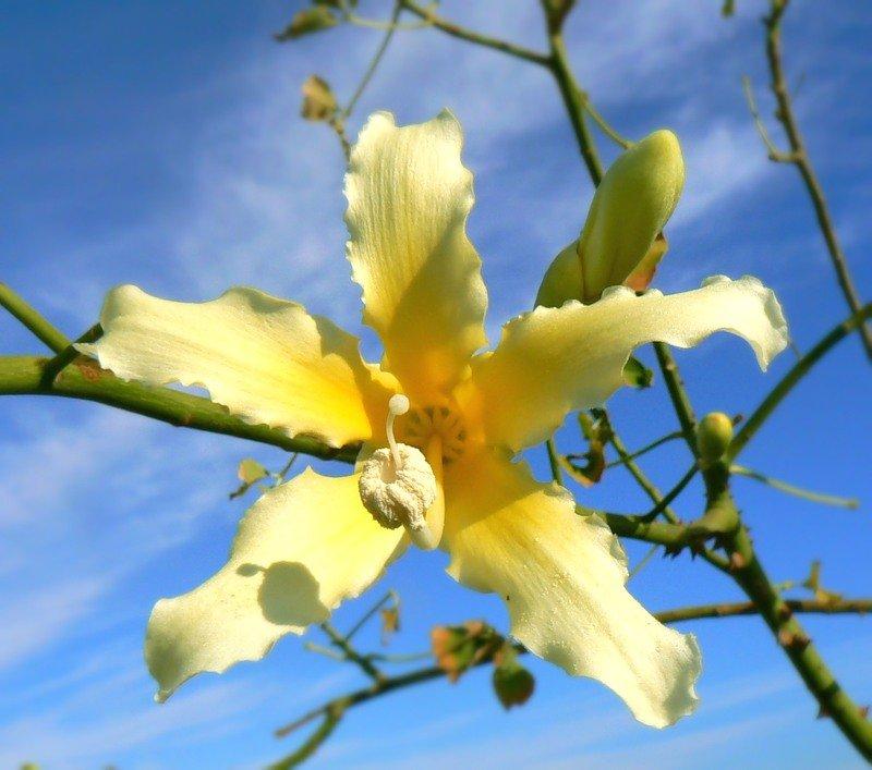 Фото цветов ванили