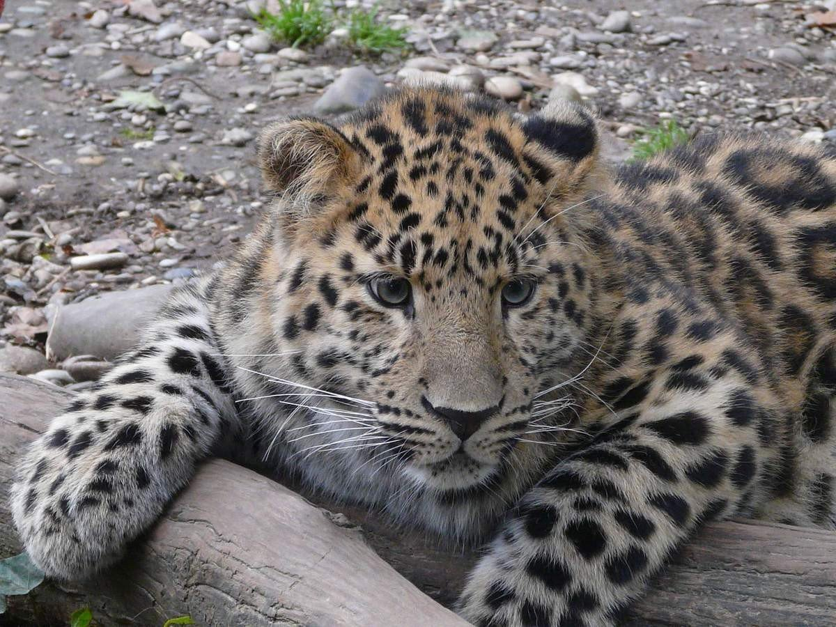 смешные фото амурского леопарда