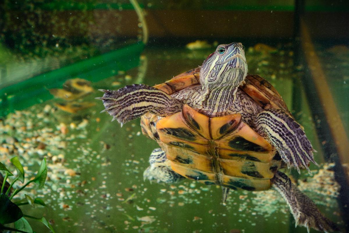 закаты водная черепаха в домашних условиях картинки кто хорошо