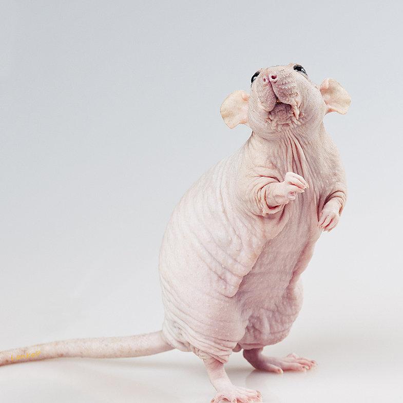 крысы сфинксы фото нашли себя устройство