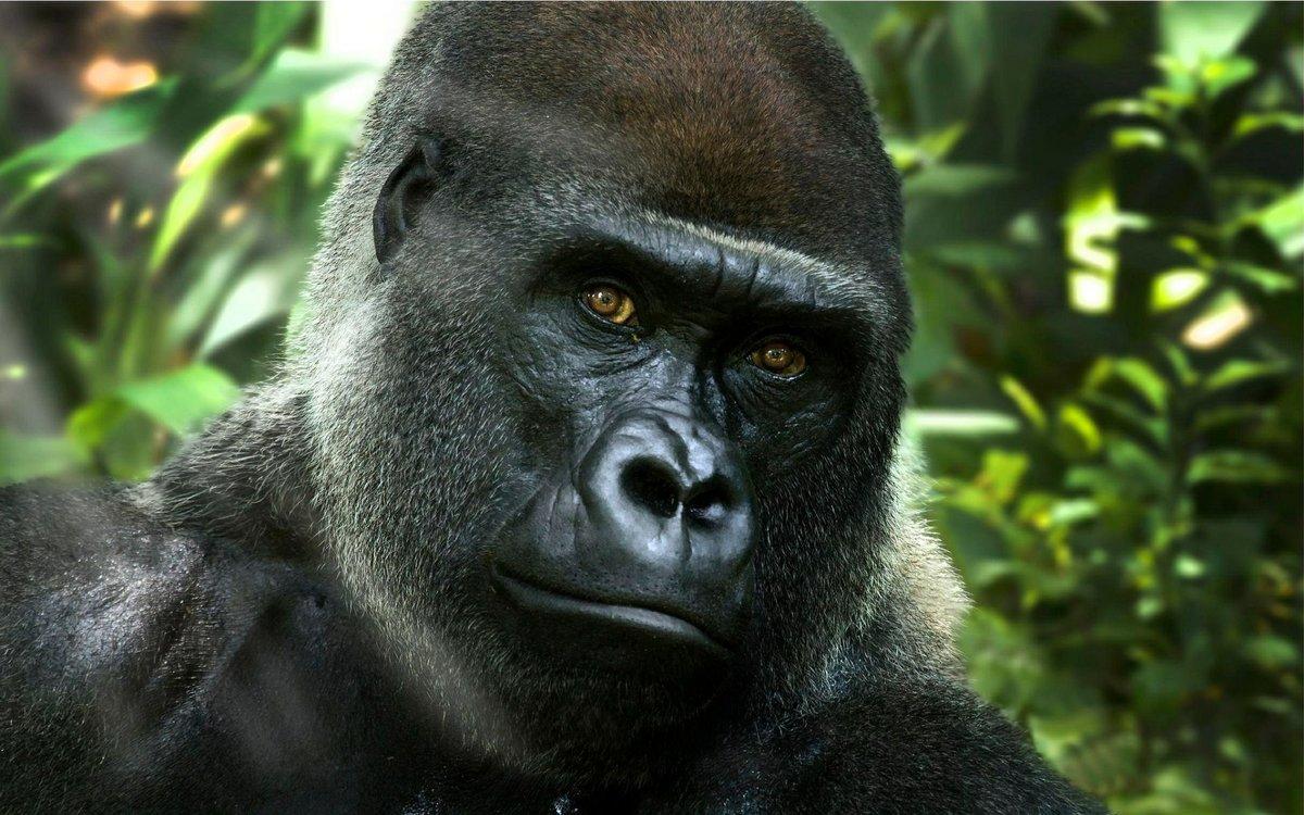 картинки про горилл делать таких